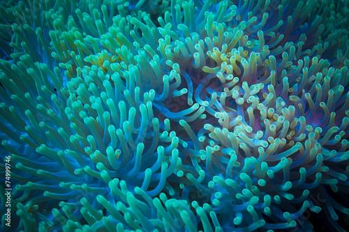 Obraz na plátne Clownfish shelters in its host anemone