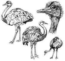 Set Of Hand Drawn Ostriches.
