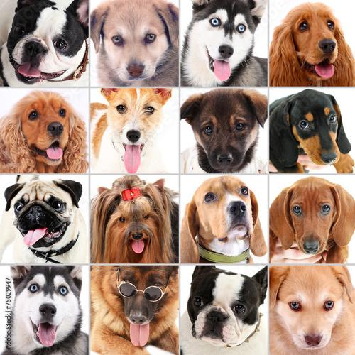 Fototapety, obrazy: Dog portraits collage