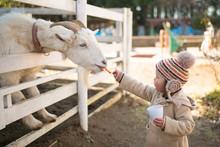山羊に餌を与える少女