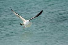 Herring Seagull Carrying Plastic Plate