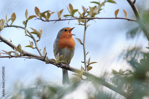 Photo  Robin (Erithacus rubecula).Wild bird in a natural habitat.