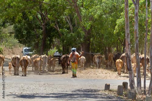 Photo sur Toile Vache bouvier et son troupeau, île de la Réunion