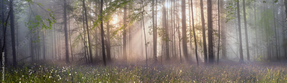 Fototapeta Magic Carpathian forest at dawn
