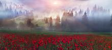 Alpine Poppies In The Carpathians