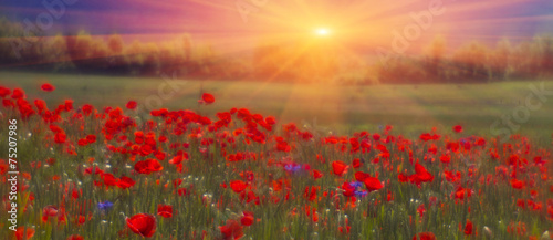 Poster Poppy Field with bright blooming poppies