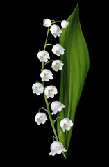 NaklejkaThe branch of lilies of the valley flowers isolated on black bac