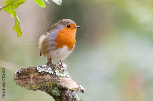 Photo  European robin in natural setting