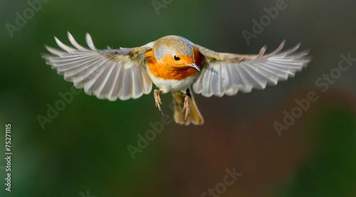 Photo  Robin hovering mid flight