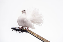 White Pigeon On Guitar