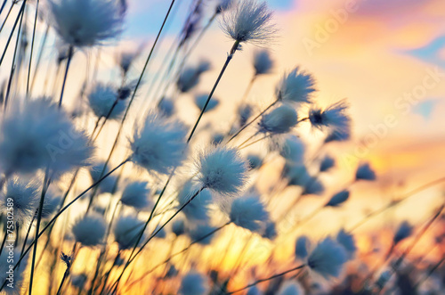 Foto auf Acrylglas Bestsellers Cotton grass on a background of the sunset sky