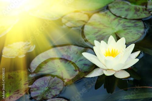 Garden Poster Lotus flower water lily