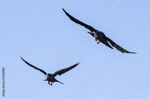 Valokuva  Corvi in volo