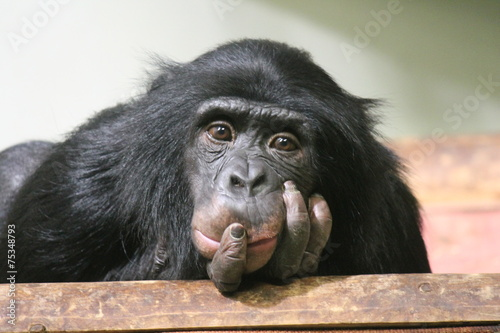chimpanzee chimp monkey ape (Pan troglodytes or common chimpanzee) chimp looking Canvas Print