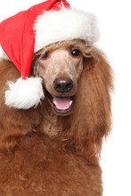 Royal Poodle In Christmas Red Hat