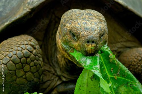 obraz PCV galapagos turtle in floreana island