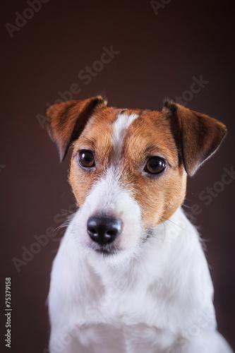 Fototapety, obrazy: Jack Russell dog