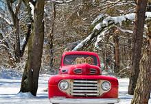 Golden Retrievers In Vintage Truck