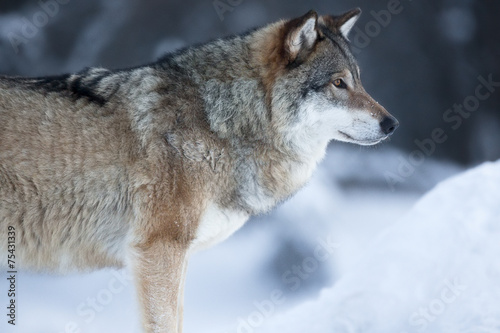 Close up of wolf standing in the snow Canvas Print