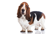 Adorable Basset Hound Dog Standing On White