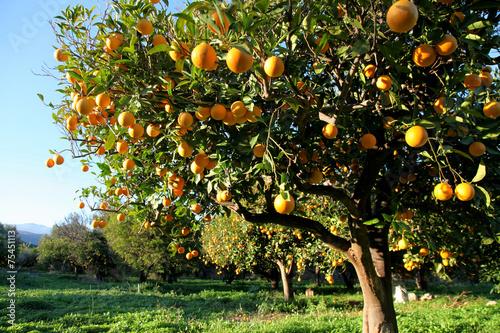 obraz PCV Pomarańczowy zbiorów