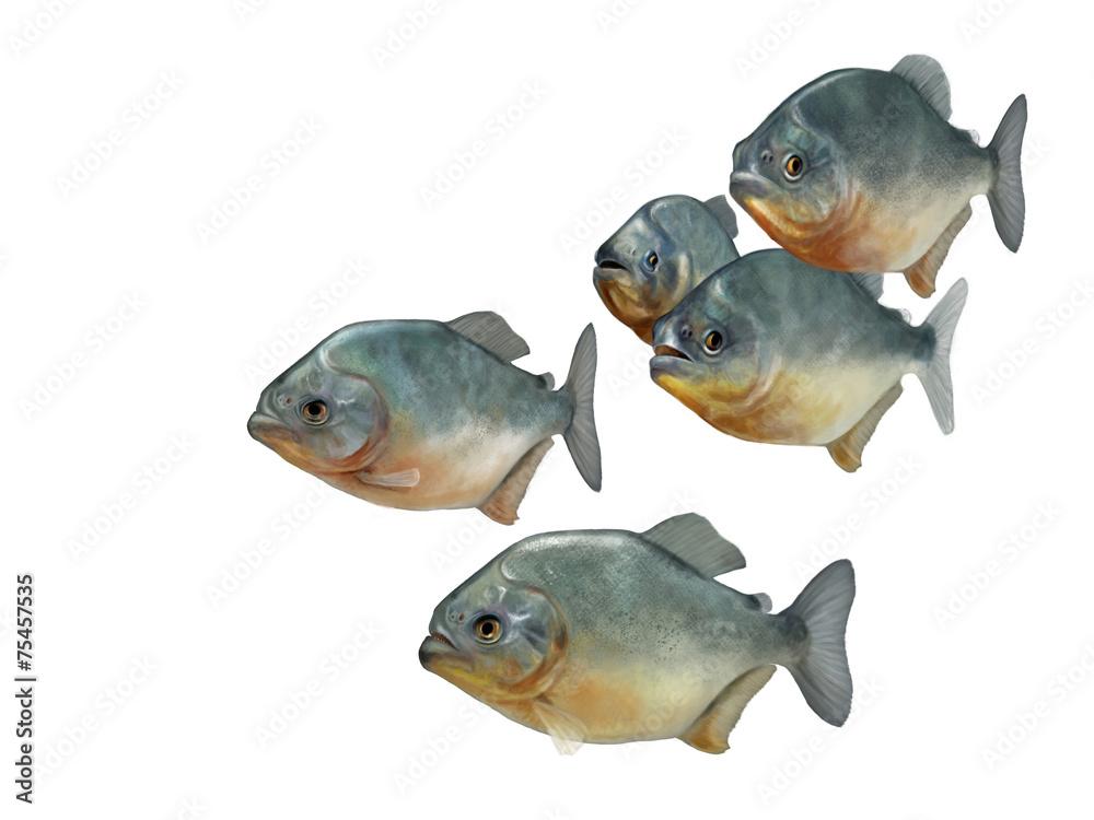 Valokuva  group of piranhas