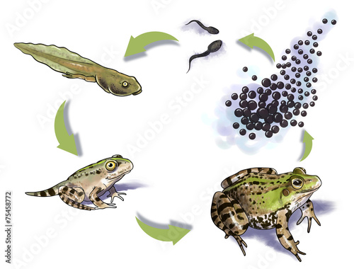 Fotografie, Obraz  Frog life cycle