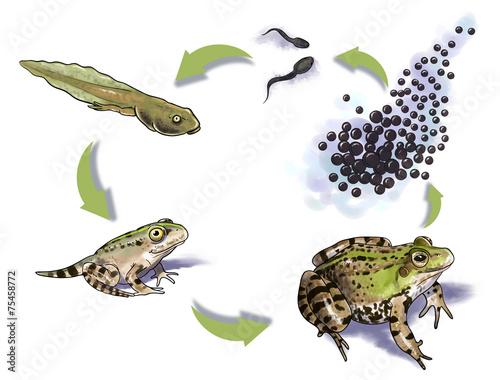 Fotografia, Obraz  Frog life cycle