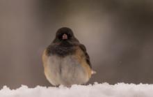Dark-eyed Junco In The Snow.