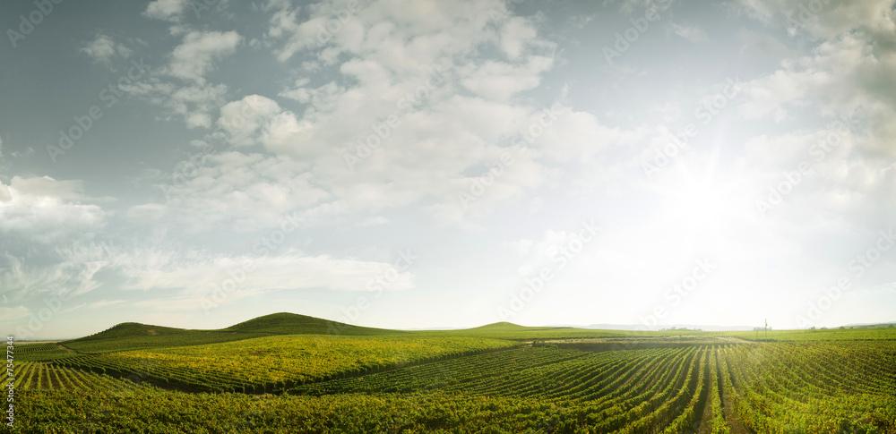 Fototapety, obrazy: grape rows