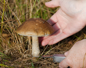 Process of cutting the birch bolete in the grass