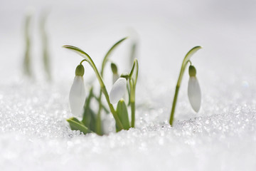 Fototapeta Spring snowdrop flowers with snow in the forest