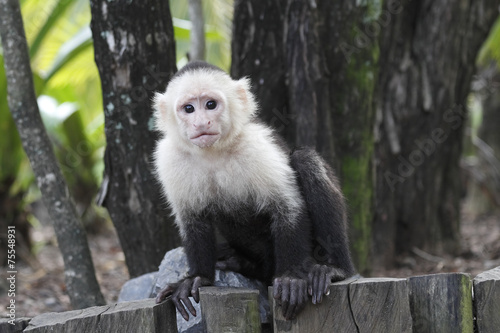 Photo  White-headed Capuchin Monkey