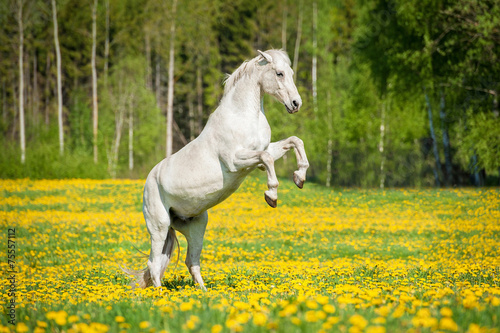 Photo Beautiful white horse rearing up on the field with dandelions
