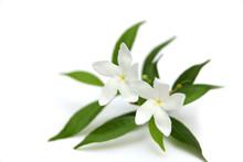 Two Crape Jasmine Flowers