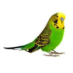 portrait of budgerigar