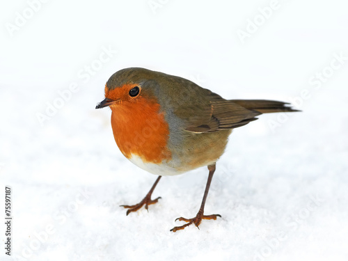 Photo  European robin (Erithacus rubecula)
