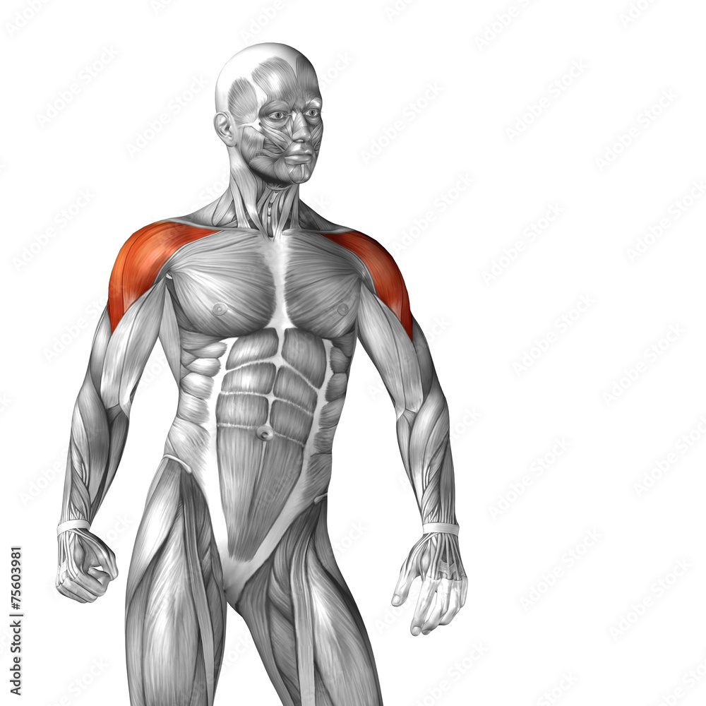 Photo Art Print Conceptual 3d Anatomy Muscle Isolated Europosters