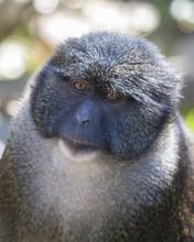 Headshot Allens Swamp Monkey