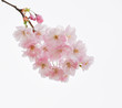 Background with cherry blossom twig