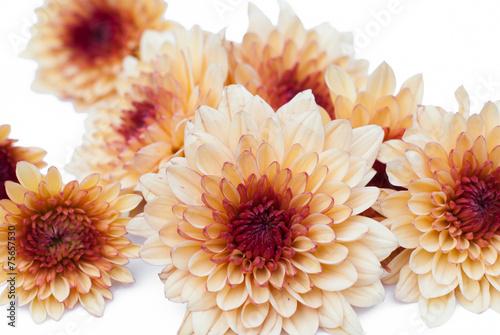 chrysanthemum background Canvas Print