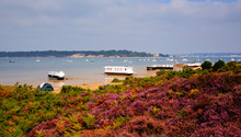 Purple Heather And Brownsea Is...