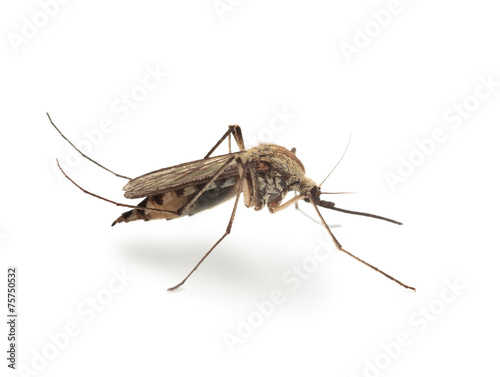 Tuinposter Macrofotografie Bloodsucker mosquito (Culex pipiens)