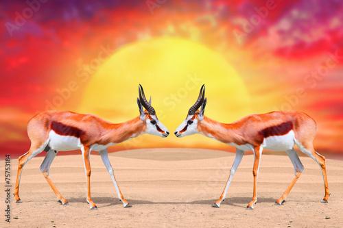 dwa-antylopy-springbok-antidorcas-marsupialis-przeciwko