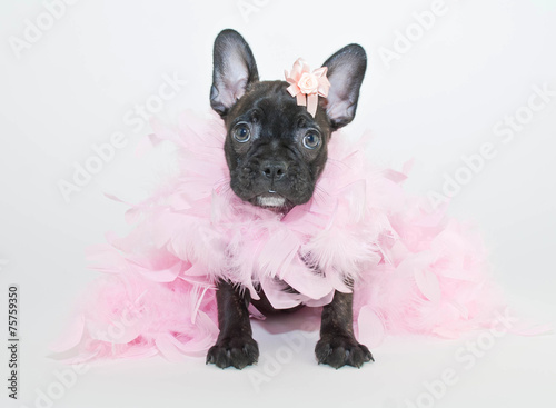 Foto op Aluminium Franse bulldog All Dressed up!