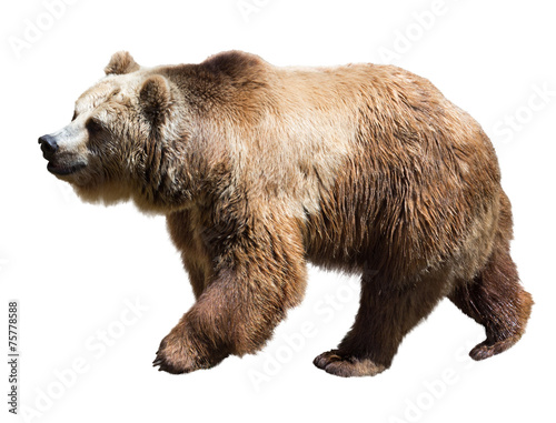 Fotografie, Tablou  Bear. Isolated  over white