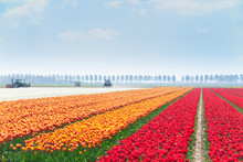 Rows Of Tulip Fields With Trac...