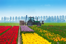 Colorful Tulip Fields With Tractor On Background