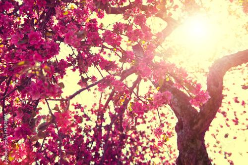Fototapeta Tło wiosna natura. Kwitnący drzewo nad pogodnym niebem