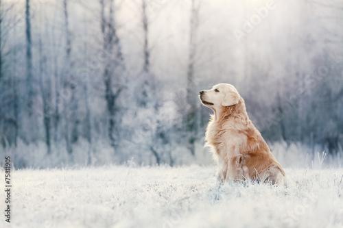 golden-retriever-siedzi-zima-w-mrozie